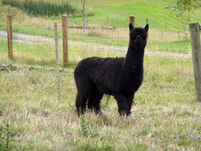 A black Alpaca